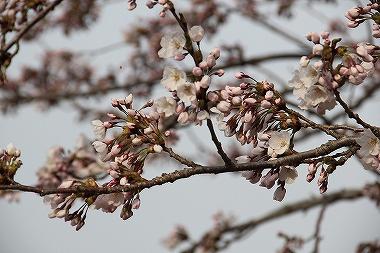 アルパスの桜
