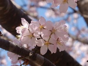 湯瀬の桜(1)