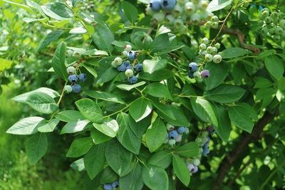 かづの果樹センターでブルーベリーを収穫しました♪