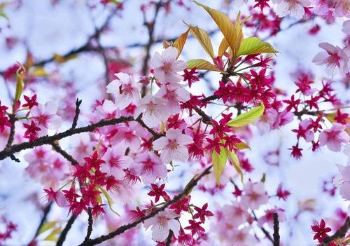 早咲きの寒桜