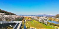 櫻田 さんの桜の写真
