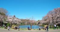 神奈川は満開です
