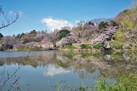 神奈川の桜は満開です。