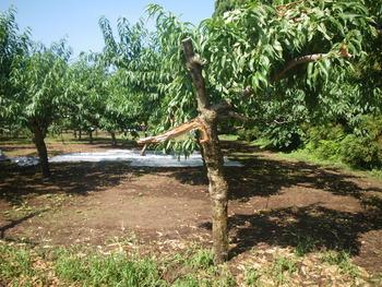 果樹農家の憂鬱