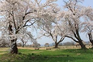 鹿角桜観賞スポット