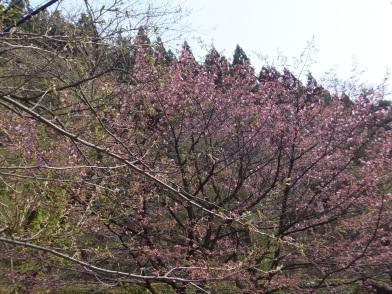 碇発電所の上の桜
