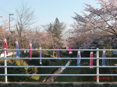 錦ヶ丘も桜が満開!