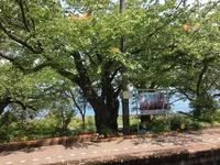 のと里山号の沿線、見事な桜の木