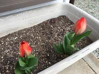 庭先に咲き始めました!