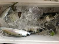海釣りで鯖を!