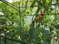 トマトも甘くて美味しい!