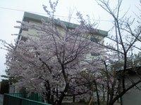 加茂小の桜№2