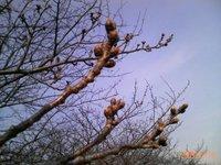 桜の芽、空、もうすぐ春だなー