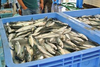 女川町魚市場を視察!