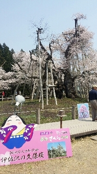 久保桜満開