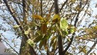 緑色の桜 御衣黄