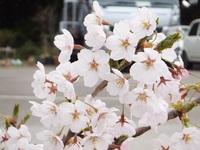 気仙沼 ようやく桜