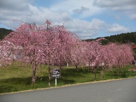 気仙沼 桜咲いてます