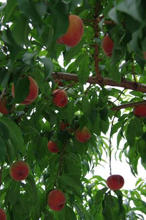 桃が甘~い♪