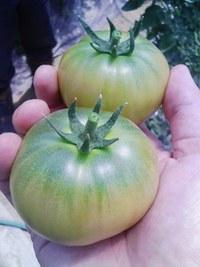 しんさんと行く、岩出山のトマト
