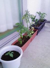 テラスで家庭菜園始めました!