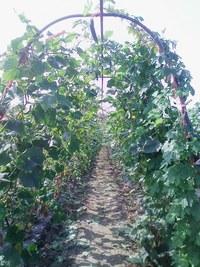 キューリ歩人のもろきゅうり畑