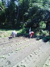 小瀬菜大根の種まき&草取り