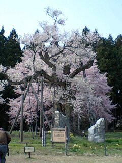 「ベーグルポコ」のベーグルと釜の越桜