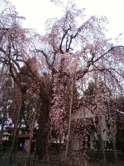 桜情報 (山形市 光禅寺の枝垂桜)