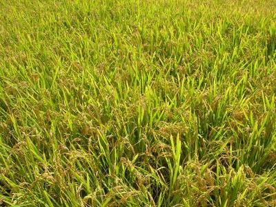 稲刈りがはじまりました。