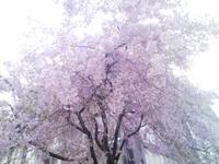 桜@立町小学校