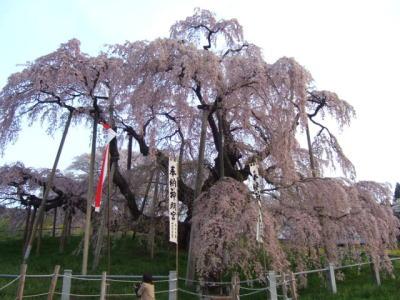 あの有名な三春の滝桜・・・だけじゃぁないんですっ!
