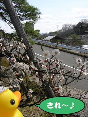 お庭の梅の花♪
