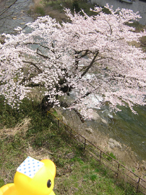 アヒルちゃんと花のある風景シリーズ⑤
