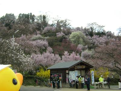 アヒルちゃんと花のある風景シリーズ④「花見山スペシャル!」