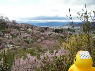 花見山が今見頃を迎えています♪