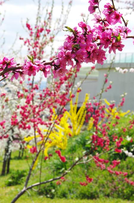 【1】これは綺麗!花ももの里でお花見会♪
